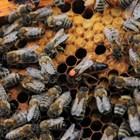 Генно чистите майки, произведени от лицензирани майко-производители, предоставят шанс на пчеларите да снижат болестите и паразитите в семействата си.