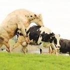 Не допускайте нарушаване на репродукцията при кравите