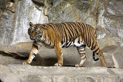 Представител на вида суматрански тигър.