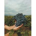 Как да задържим аромата на гроздето във виното
