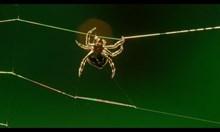 Как паяците си сплитат мрежите