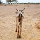 Изтощена крава се разхожда в открито поле в село Гелча, един от най-засегнатите от сушата райони в Етиопия.