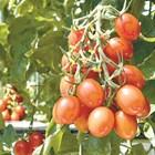 Това е първият път, когато на пазара излиза сорт домат с редактиран геном с помощта на технологията CRISPR