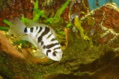 Риба от вида Amatitlania siquia СНИМКА: Уикипедия/Haplochromis
