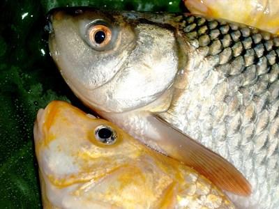 Откриха умряла риба в Янтра край Горна Оряховица, проверяват за замърсяване