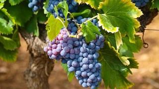 Панацеята червено грозде
