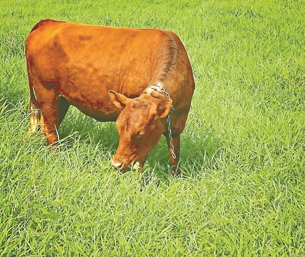 Ако нямате ливади за паша, осигурете на дойната крава по 15-25 кг окосена зелена трева дневно