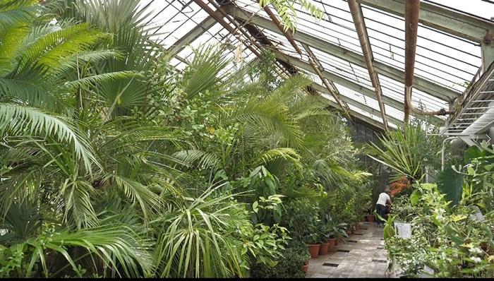 Цикасите приличат на палмите, а в Ботаническата градина на БАН има 4 столетници от този вид.  СНИМКА: ЙОРДАН СИМЕОНОВ