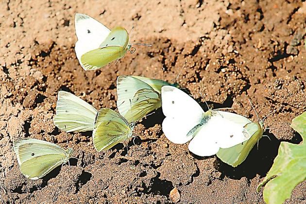 Белите зелеви пеперуди – красиви, но опасни