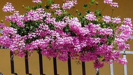 Какво да правим през май в цветната градина?