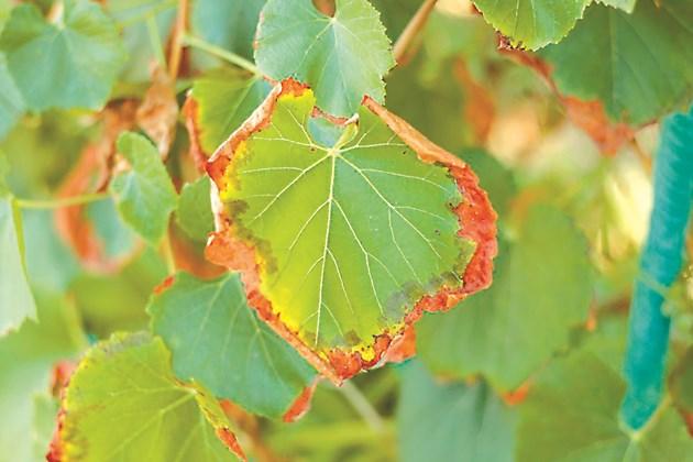 Преовлажнените лози може да започнат да гладуват, първият сигнал са листата