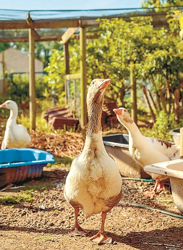 След настаняването на гъските в птичарника те оформят брачните групи. На всеки гъсок се предвиждат по 2,7 до 3 гъски, което съотношение е нормално за породите, отглеждани за черен дроб.
