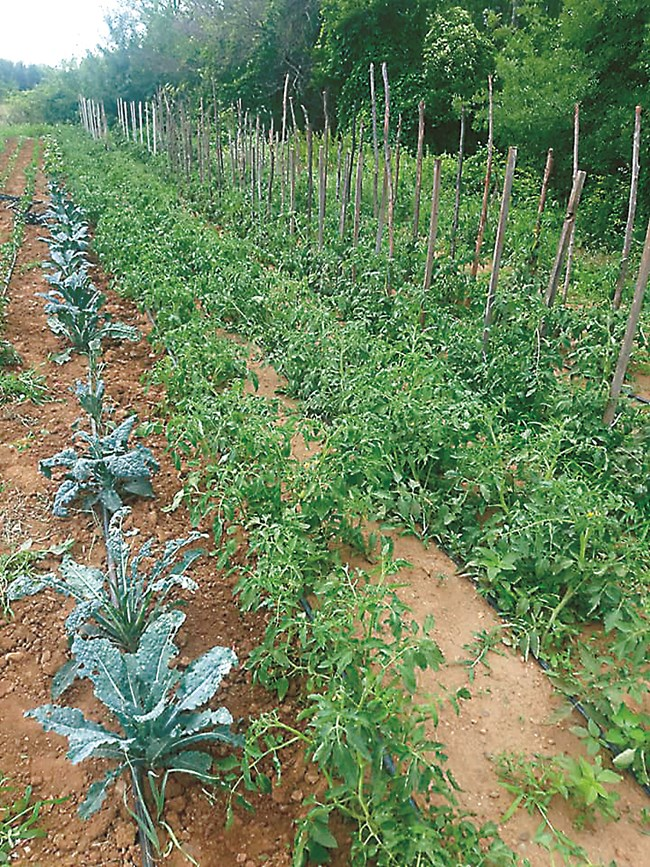 В градината на сем. Матеви откриваме и всякакви други зеленчукови култури, включително кейл, които вместо с химически препарати, тя храни със специални микроорганизми.