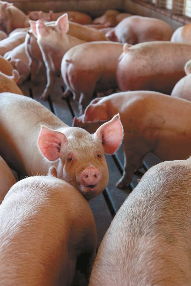 Мобилното приложение PigVision Mobile регистрира всички необходими дневни операции в свинефермата