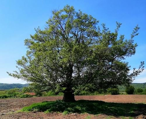 До 20 януари е гласуването за любимо българско дърво