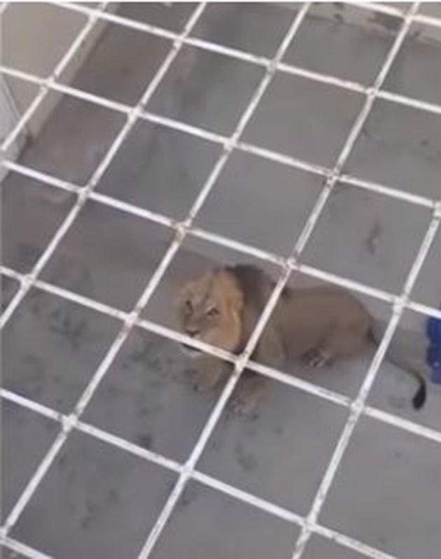 Лъв избяга от резерват в Съдърланд, прекара нощта в ареста (Видео)