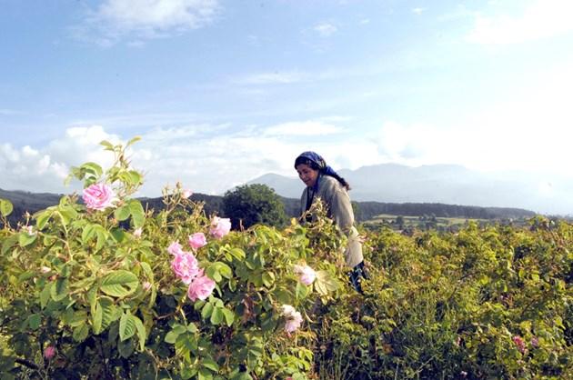 Брюксел пази от Австралия розовото ни масло и ракия