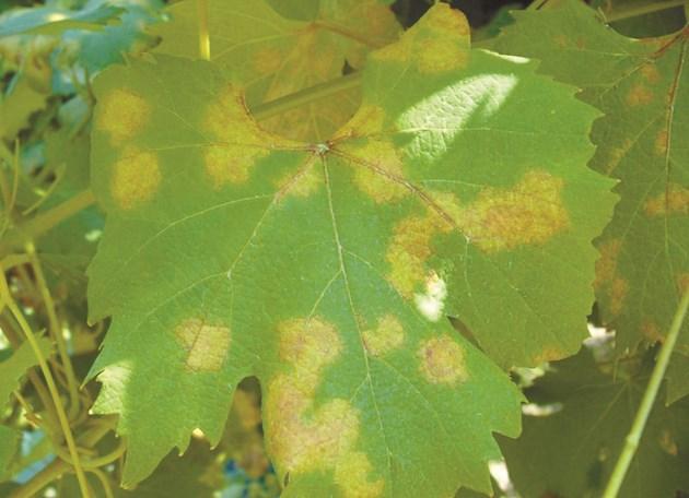 При мана, по нарастващите листа се появяват хлоротични мазни петна