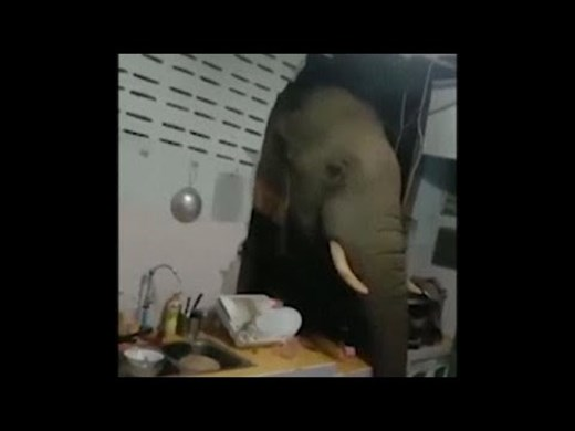 Слон търси храна в кухнята на семейство в Тайланд (Видео)