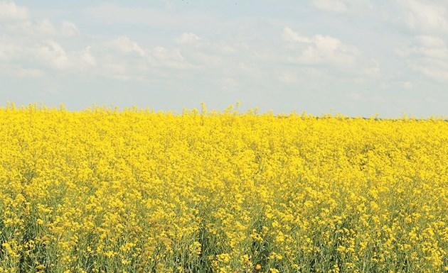Рапицата се използва за зелено торене, но се заорава още през есента, когато е в началото на развитието си