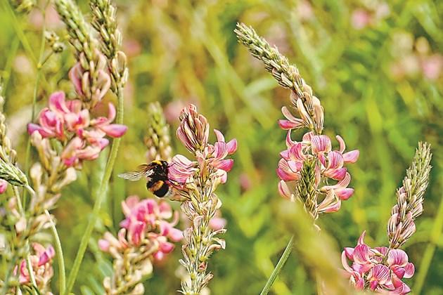 Фуражната култура привлича пчелите