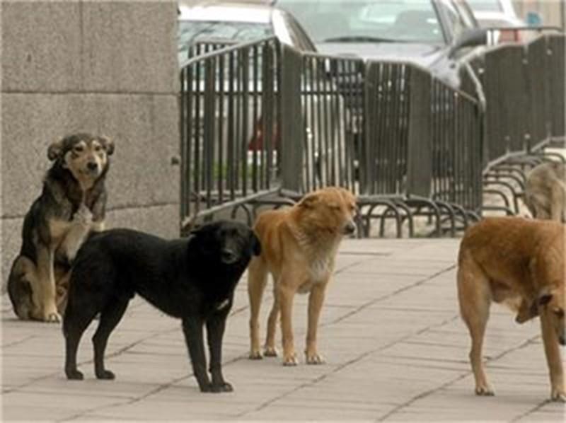 Един от основните фактори и първоизточник на разпространение на кучешката тения са безстопанствените кучета. Снимка Архив