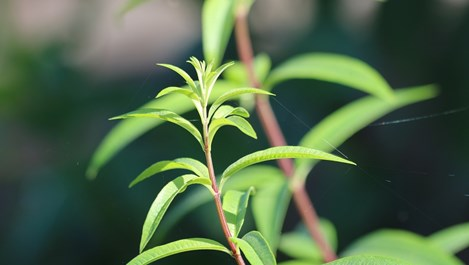 Лимоновата трева е лековита на чай и вкусна с пилешко и риба