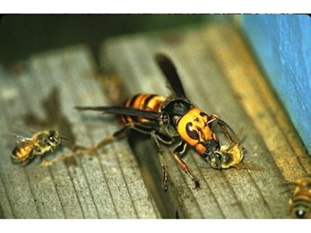 С разрушаването на гнездата на осите ще предпазите пчелните семейства!