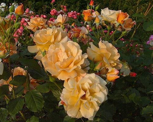 Специално внимание за розите