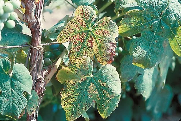 Калий се внася преди началото на зреене на гроздето, при липса на елемента дори може да започнат да падат листа