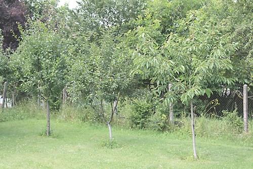 Лятно присаждане на дръвчета на спяща пъпка