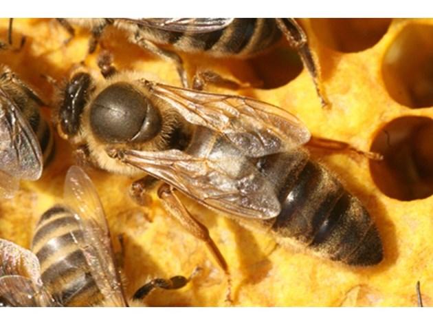 Другото правило при зазимяване: Пчелните семейства не бива да се зазимяват с несъешени майки, защото те ще станат търтовки и през пролетта ще снасят само неоплодени яйца.