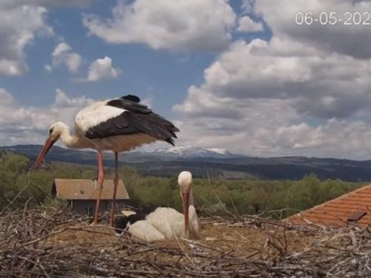 Хора от цял свят следят на живо ежедневието на щъркели в България