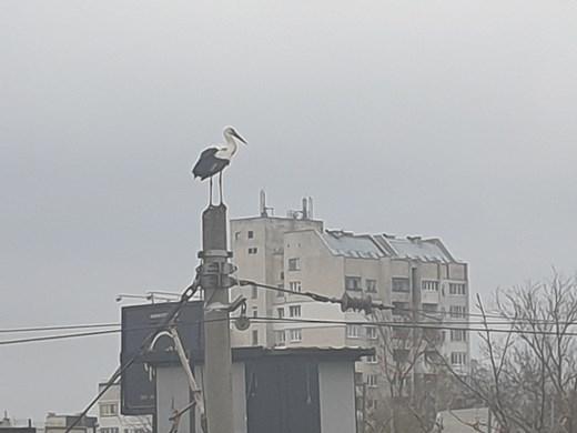 Щъркел се появи в столичния квартал Горна баня (снимки, видео)
