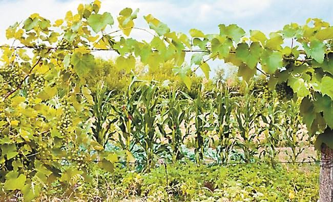 Междинни култури, които правят голяма зелена надземна маса са неподходящи за съседи на младите лози – те са конкурент на хранителни вещества