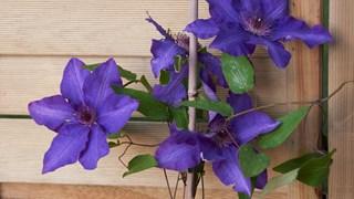Клематис - царицата на пълзящите растения