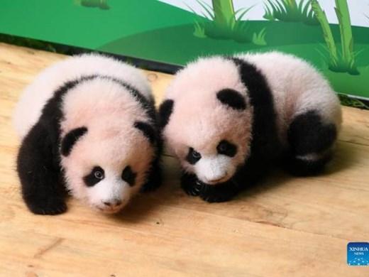 Панди близнаци в китайски зоопарк приеха първите си посетители