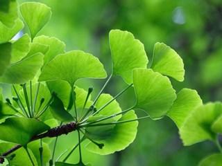 Необятните ползи за здравето от гинко билоба
