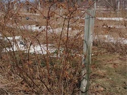Къпиновите храсти се различават по хабитус