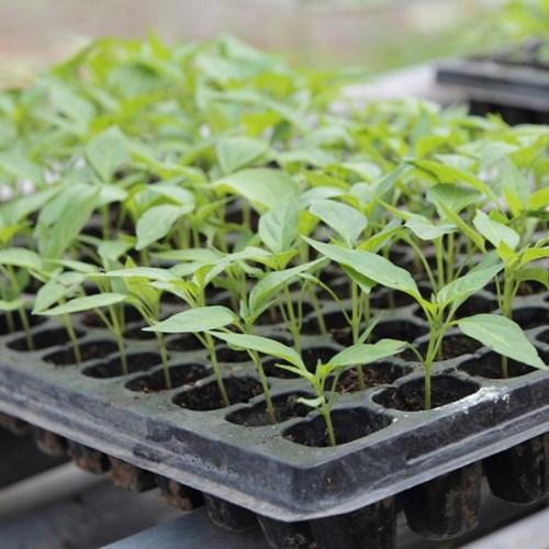 Терини за разсадите