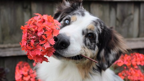 Цветя, които не трябва да гледате, ако имате домашни любимци