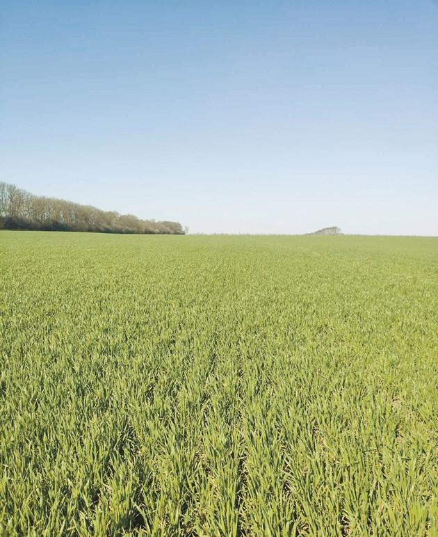 Поле с пшеница в Добруджа