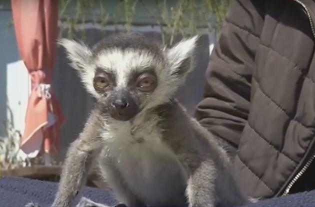 Зоопарк спаси изоставено бебе лемурче
