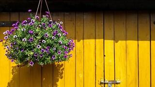 Кои са най-популярните цветя за висяща кошница