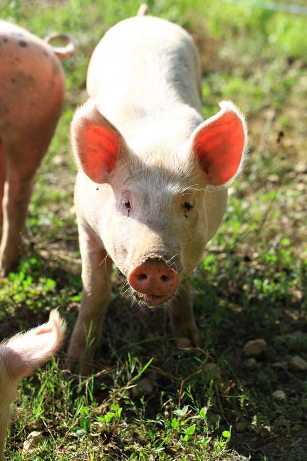 Дребните и недоразвити прасенца, ако не умрат до отбиване или след това, са нерентабилни животни и не бива да ги отглеждате