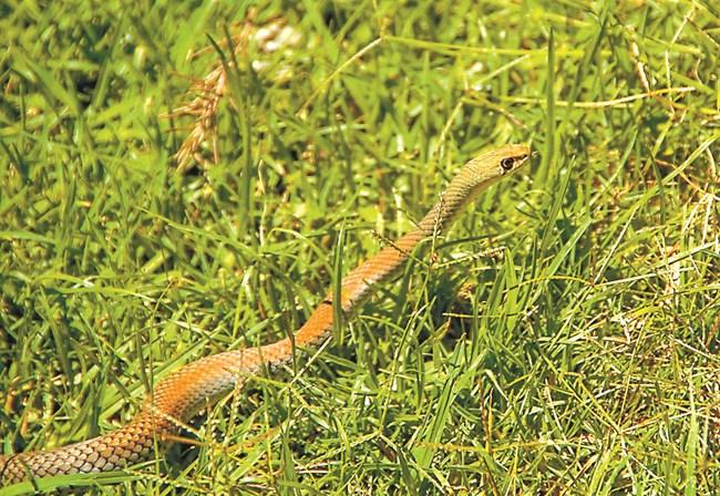 Ако имате в двора мишки и плъхове, рано или късно ще се появят и смокове, и змии