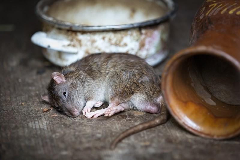 Учени идентифицираха сигнал в част от мозъка на плъховете, който показва уязвимостта им към пристрастяване към кокаин