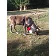 Еленът Рудолф е с най-дългите рога