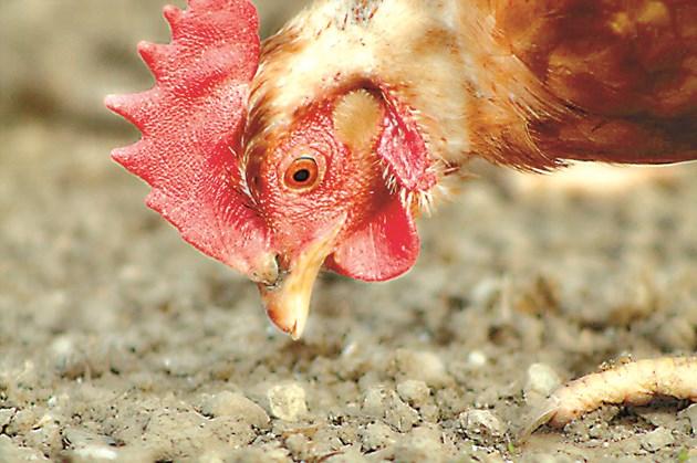 """""""Лакомите"""" кокошки кълват всичко наред"""