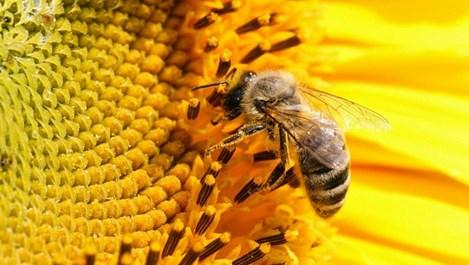 Един безценен дар от пчелите стопира инфекциите